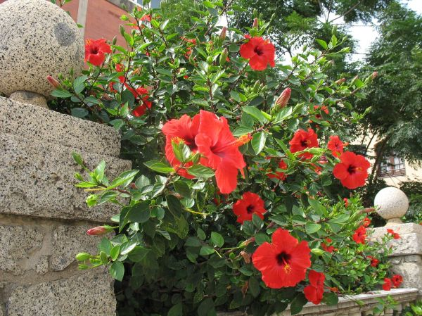 red hibiscus decorating the street