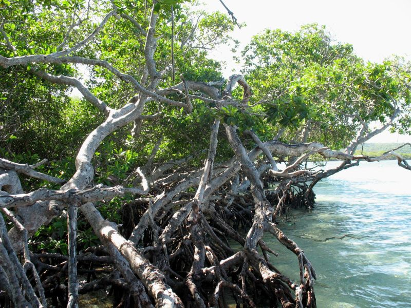 Aerial roots of mangroves.