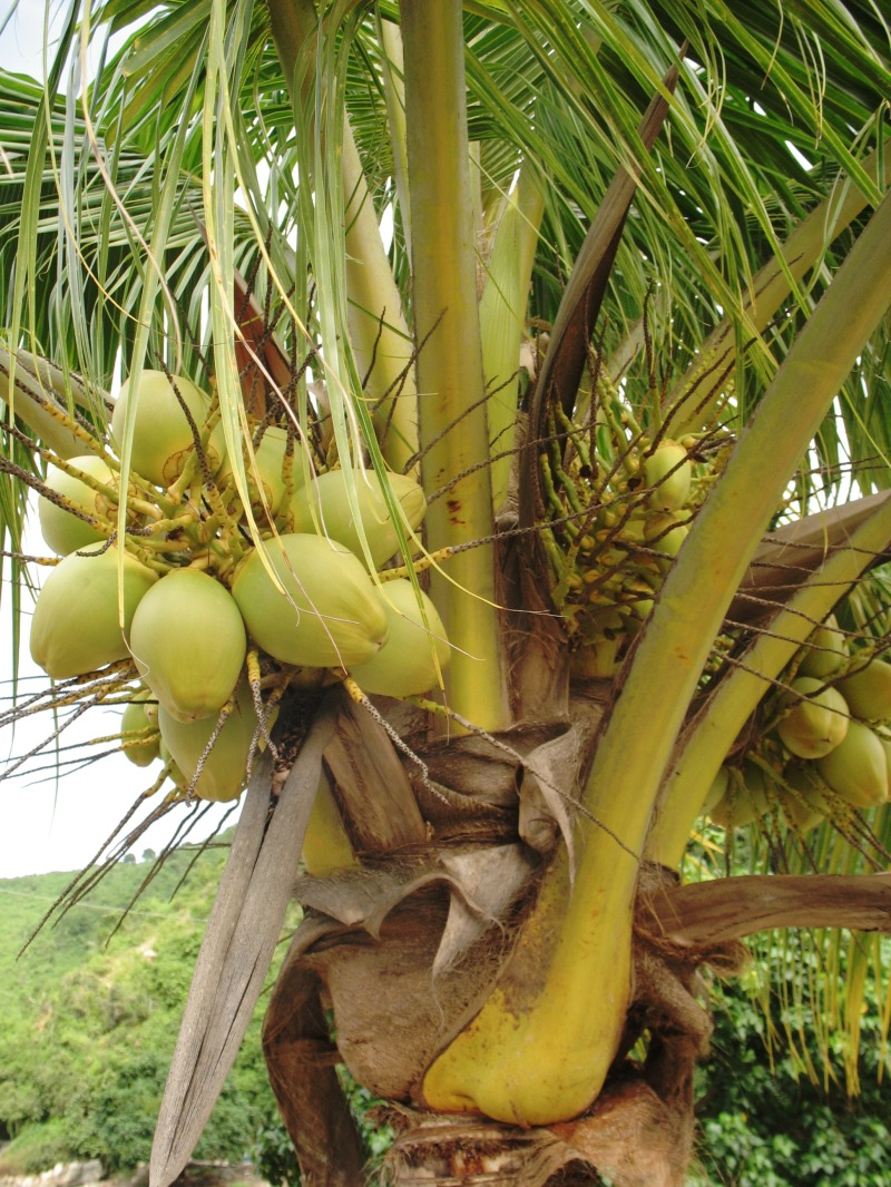 Bunches of coconuts.