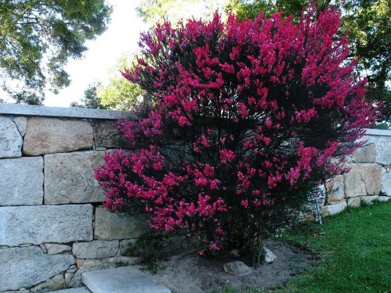 Intense pink flowered shrub.