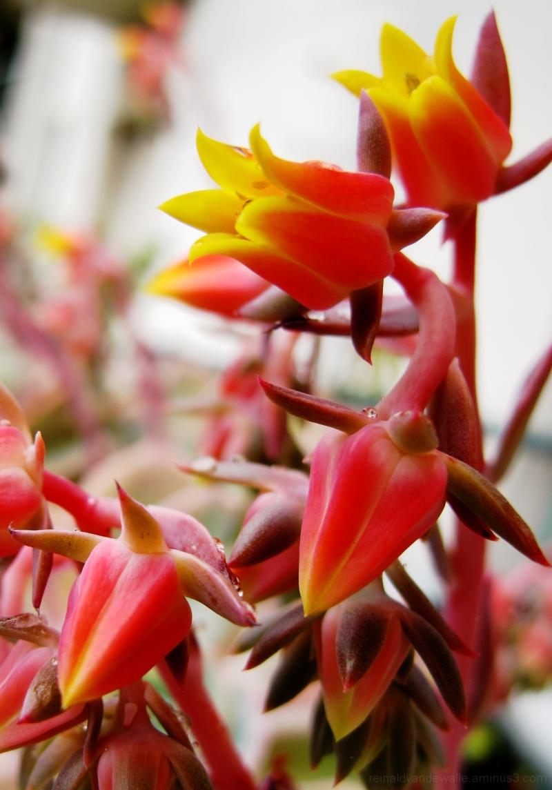 Suculenta? flower