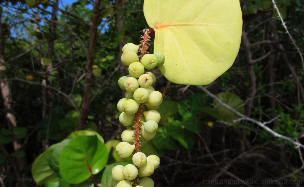 A cluster of Sea Grape