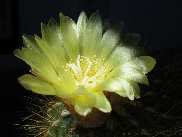 A cactus flower
