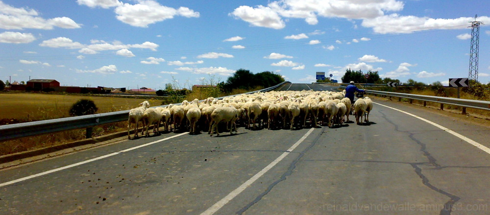 Sheeps on the way