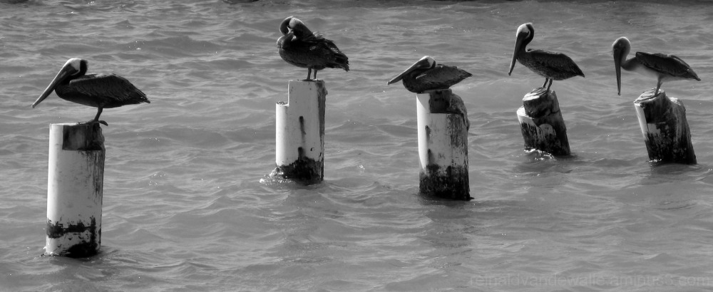 Pelicans resting on stakes