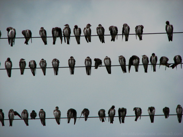 Sparrows on electricity wires