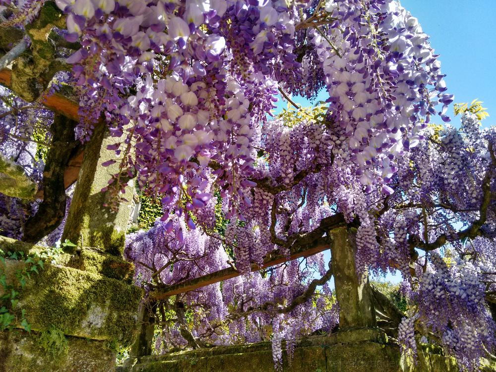 Glycine flowers