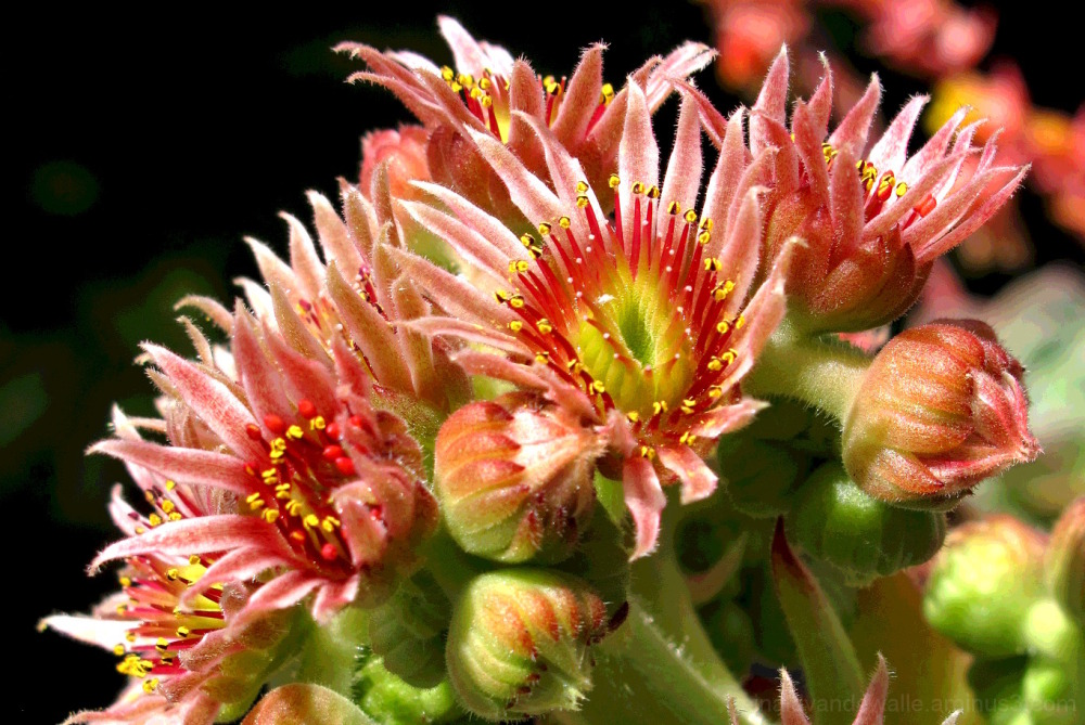 Sempervivum cantabricum flower
