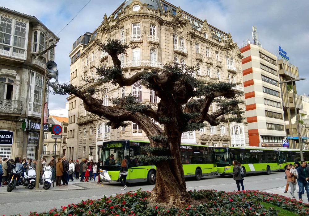 Olive tree in Vigo