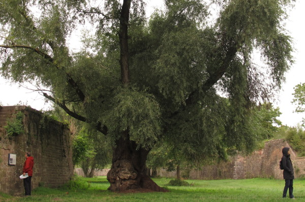 Old tree in a fortress