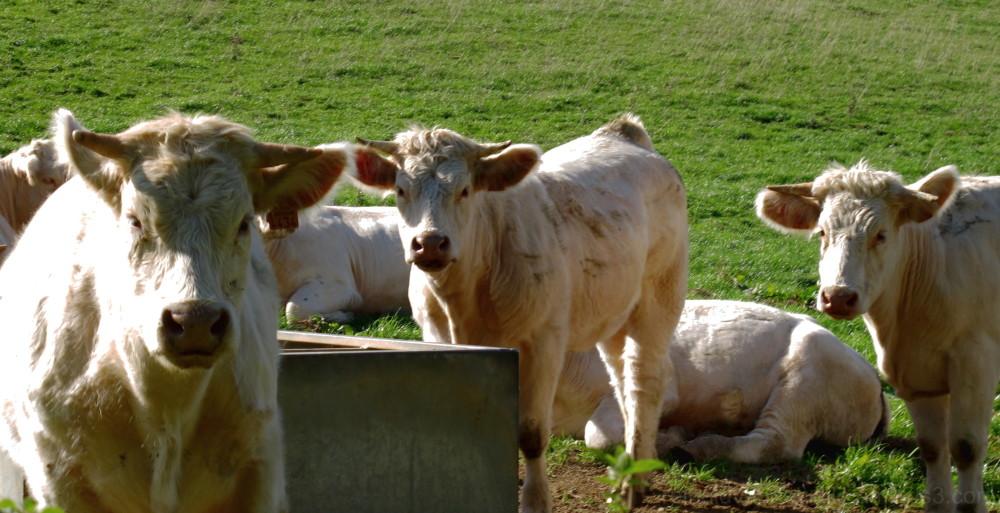 Three white calves