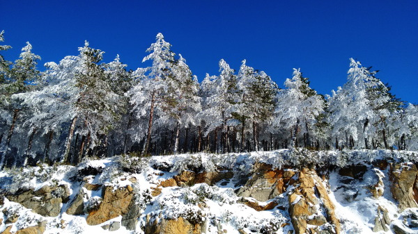 Snow covered pines on a rock cliff.