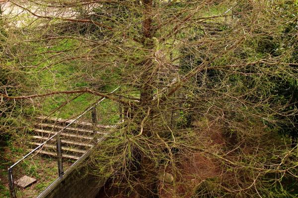 Greening pine
