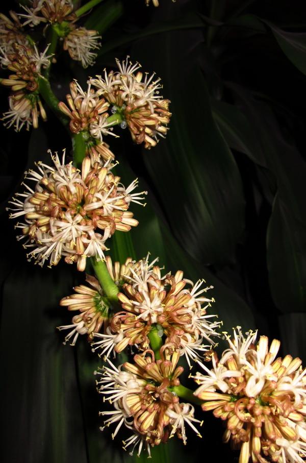 Dracaena fragansis flowers