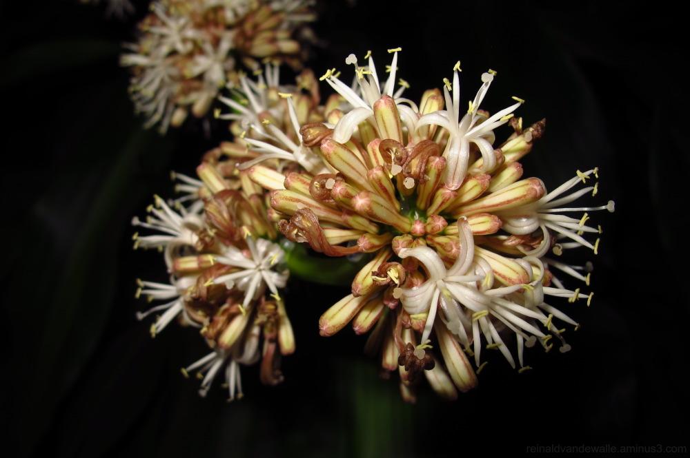 Dracaensis Fragansis flower at night