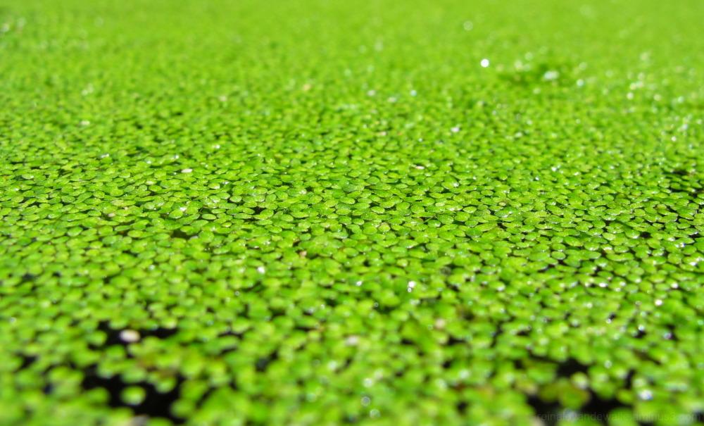 Little floating plants