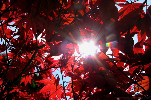 Light spectrum red leaves