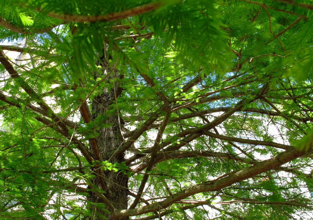 branches from a cypress