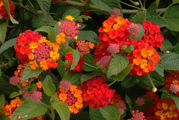cariaquito flowers