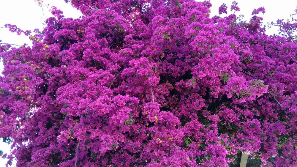bouganvillea flowers in Vigo city, Spain.