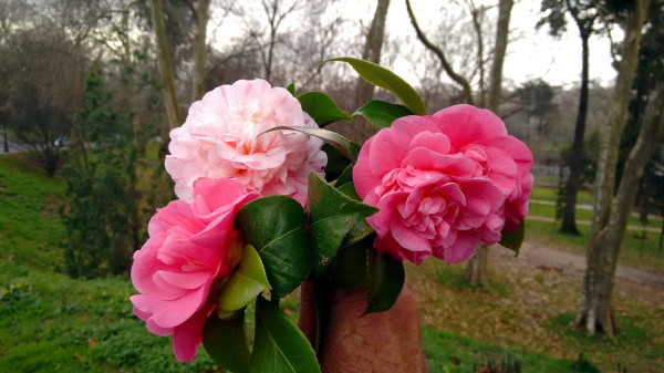 Camellia or Winter Lily flowers