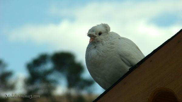 چون کبوتر بر لب بام تو ...