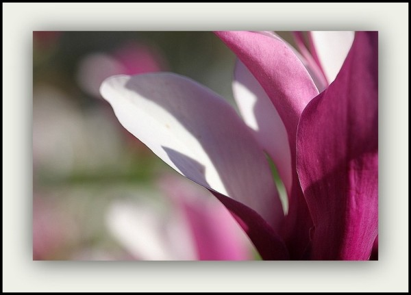 Le magnolia (1)
