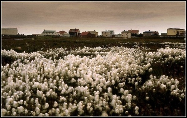 Le champ de linaigrettes