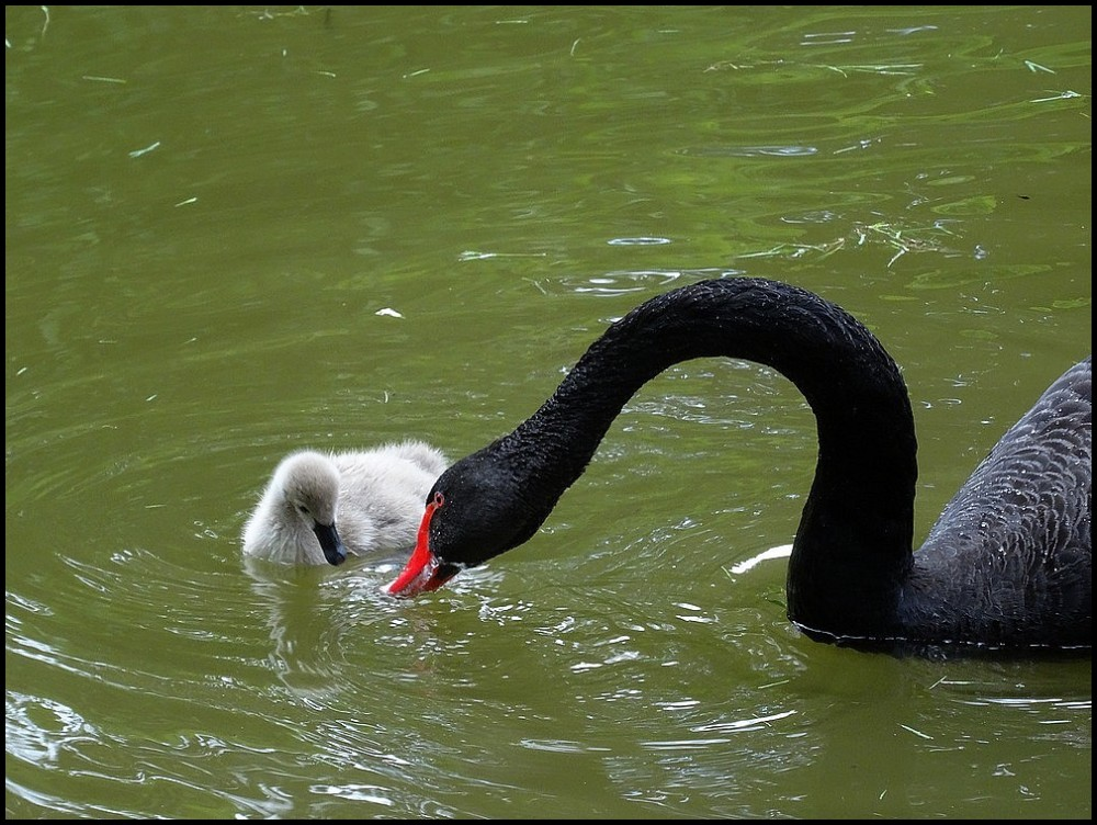 Un amour de swan