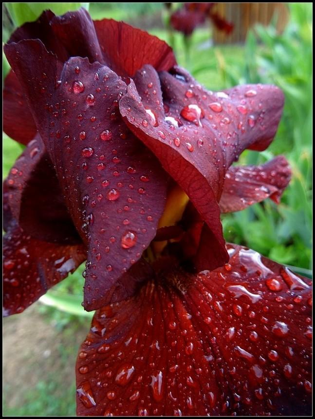 fleurs eau iris