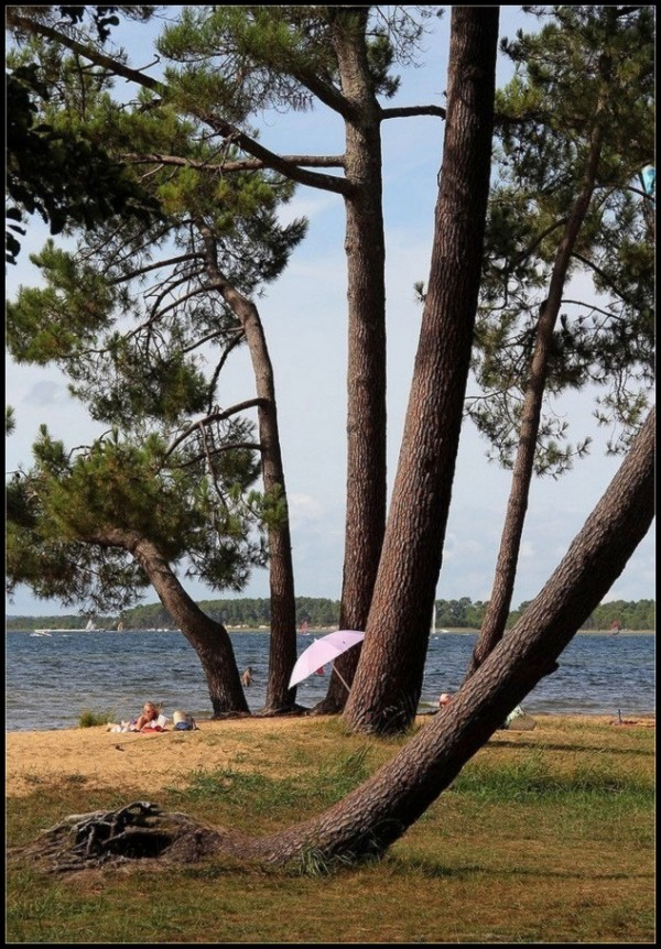 Le pin - parasol