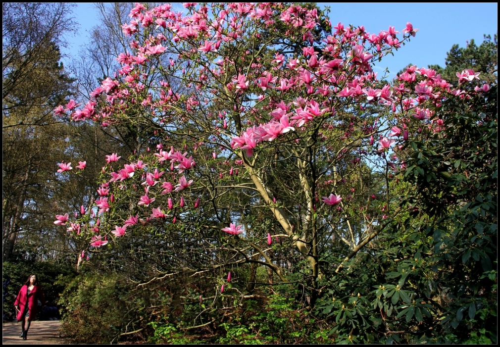 magnolias gens