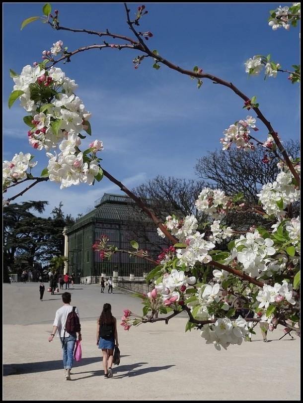 Sous les cerisiers  en fleurs - 1