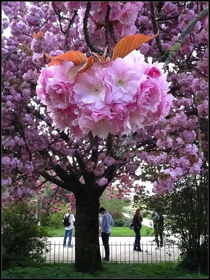 Sous le cerisier en fleurs - 2