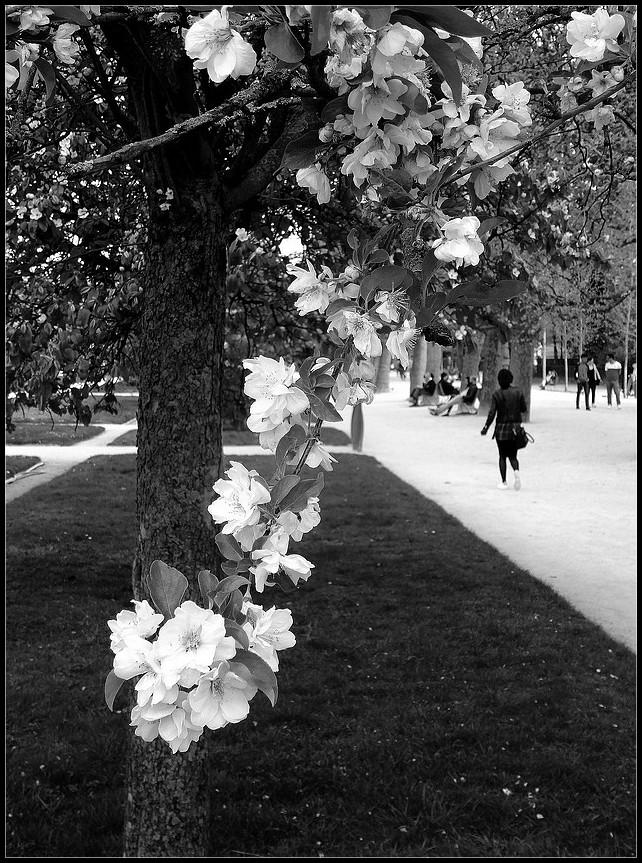 Sous le cerisier en fleurs -3