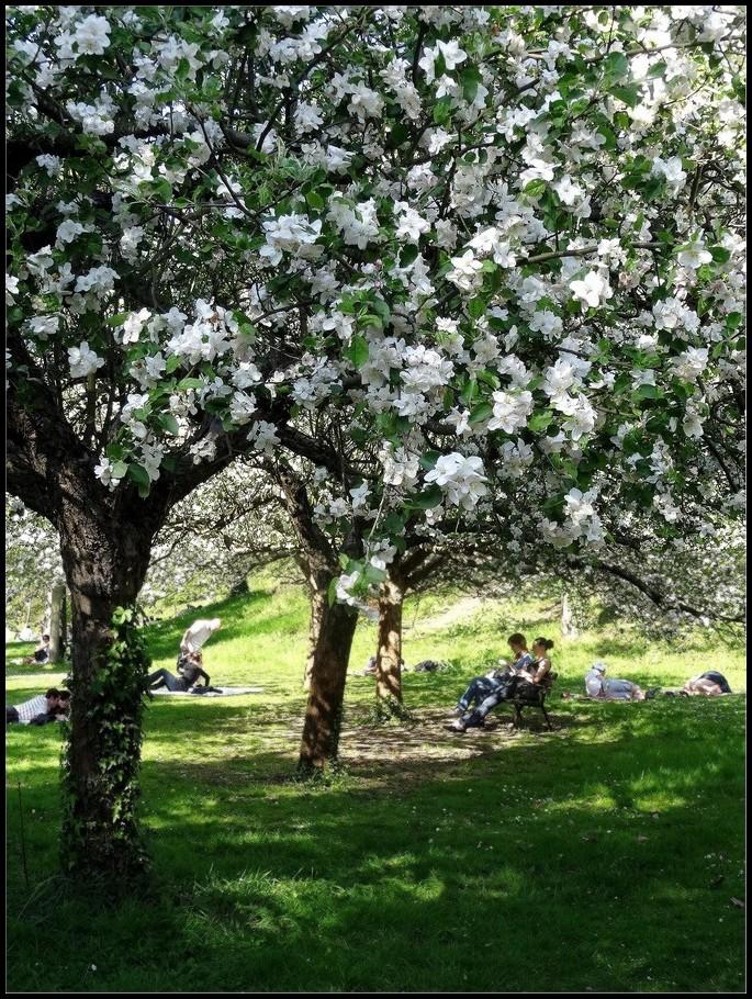 Sous les pommiers en fleurs