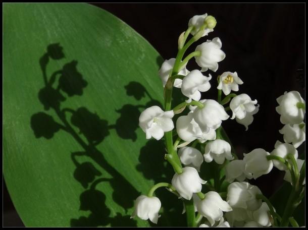 fleurs muguet éclairages