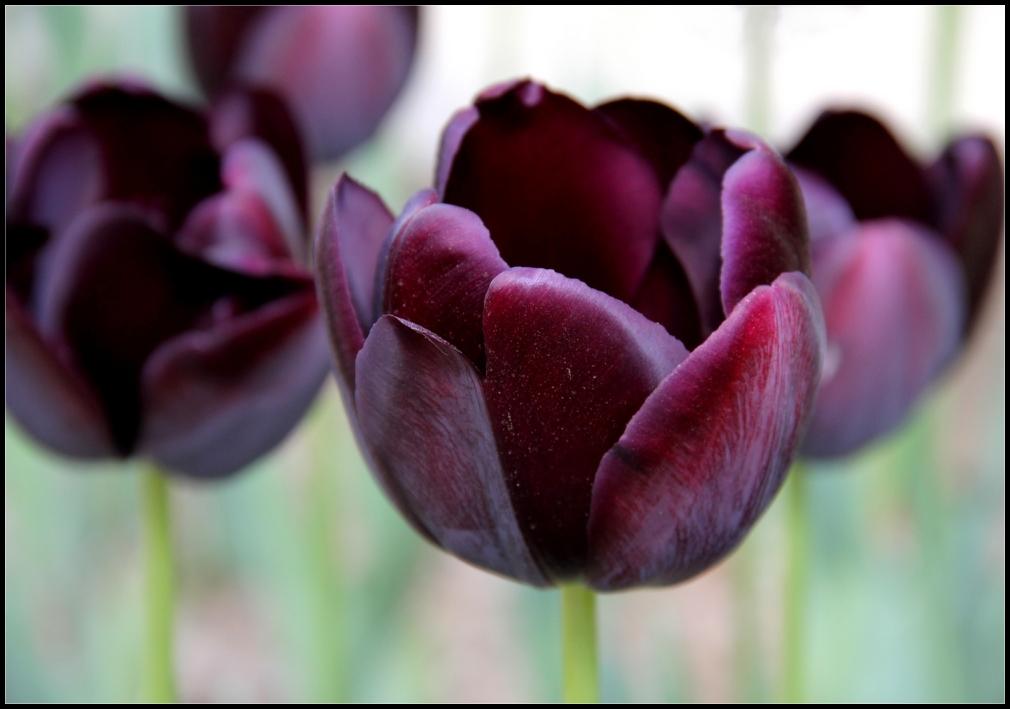 La saison des tulipes - 2