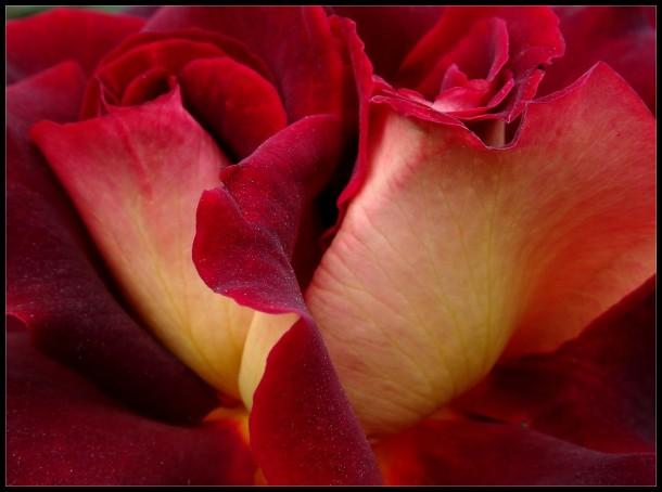 Le velouté d'une rose