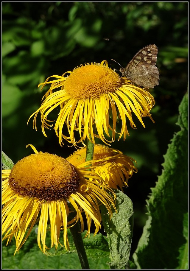 fleurs insectes papillon