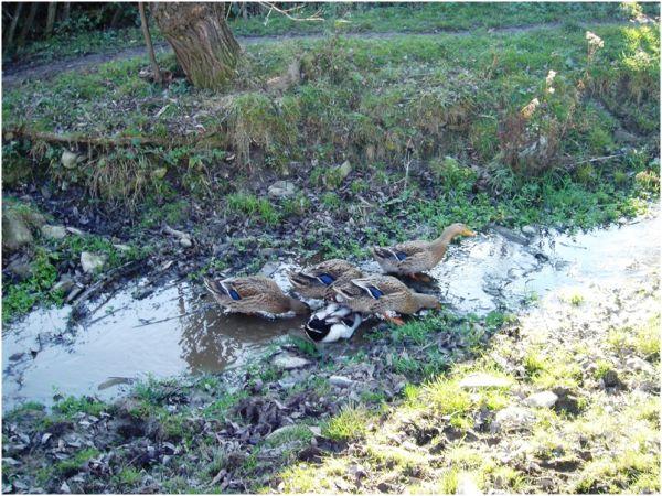 Ducks in a Romanian village