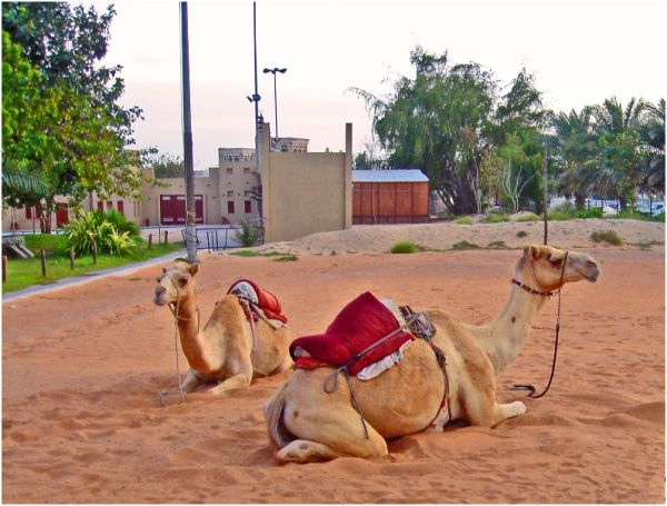 Dubaian Camels