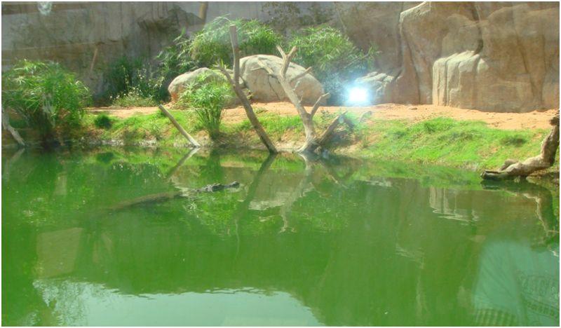 Crocodile at Al Ain Zoo