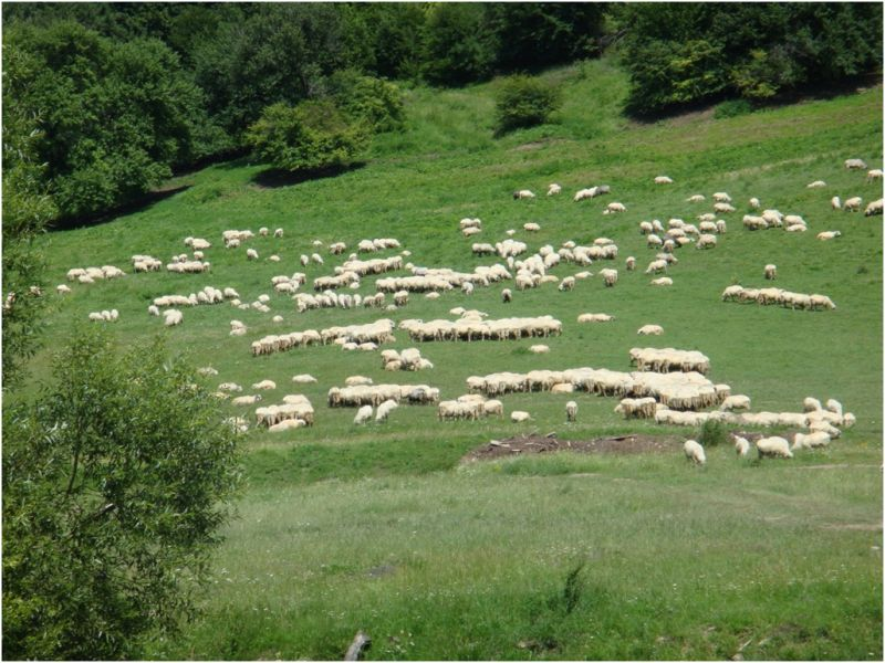 2009 07 09 E60 to Oradea, sheep flock
