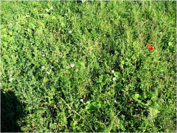 2009 07 09 E60 to Oradea, flower field