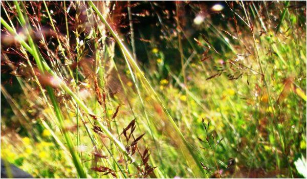 2009 07 13 Grass in wind