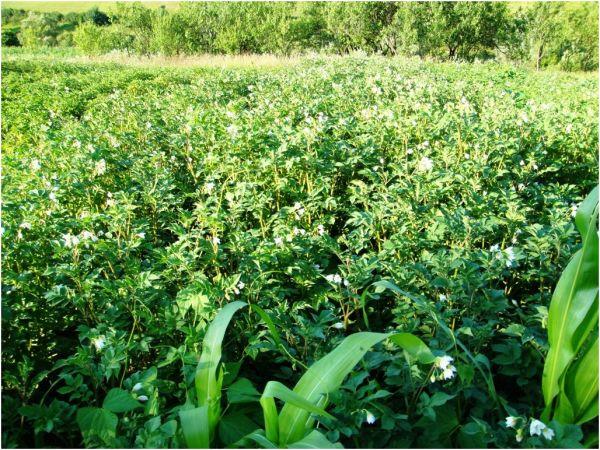 2009 07 13 Potato Field