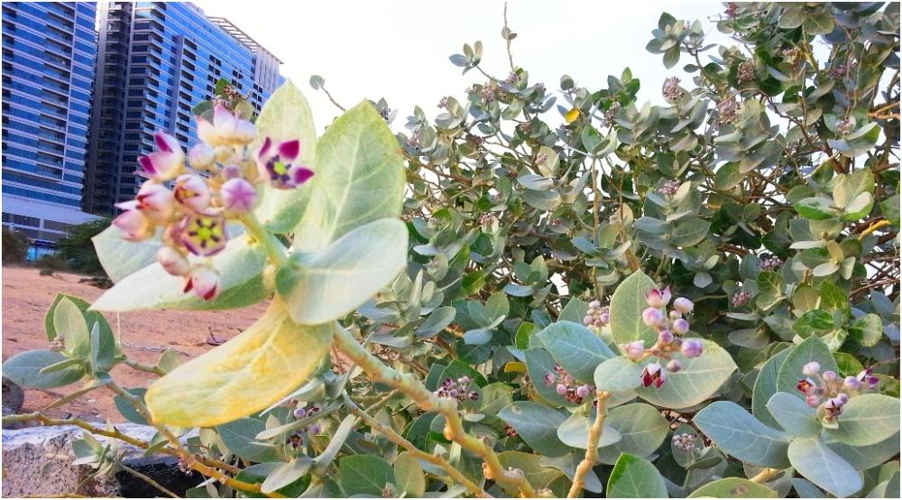 Desert Flowers around Skycourts 2013 01 11