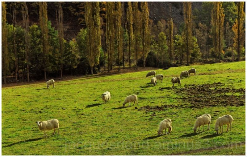 mouton pre verdure espagne