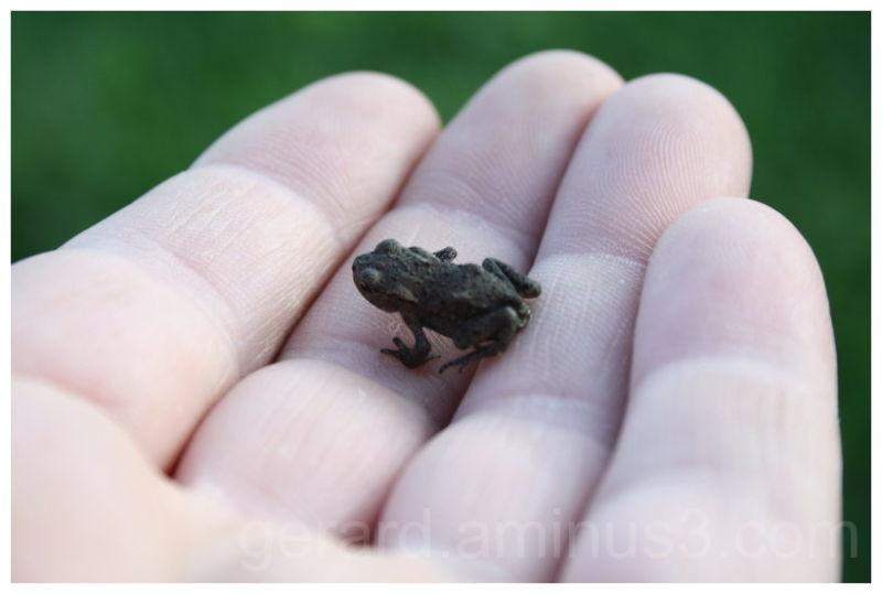 Giant Frog Reuzen Kikker